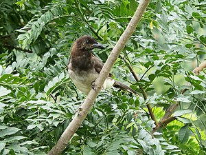 Brown jay - Adult bird. Aserrí, Costa Rica