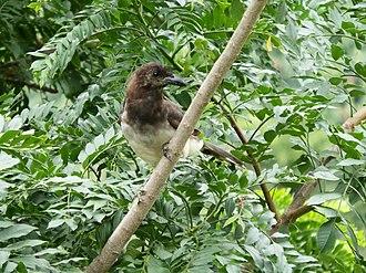 Brown jay - Adult bird. Aserrí, Costa Rica
