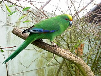 Malherbe's parakeet - At Isaac Peacock Springs wildlife refuge, New Zealand