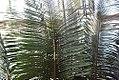 Cycas circinalis 4zz.jpg