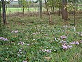 Cyclamen by the Goat Walk, Topsham - geograph.org.uk - 264757.jpg