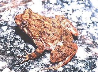 <i>Cycloramphus</i> Genus of amphibians