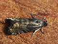 Cydia strobilella - Spruce seed moth - Листовёртка еловая шишковая (40385332915).jpg