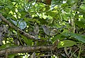 Cymbilaimus lineatus (female) -Panama-6.jpg