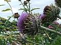 Cynara cardunculus - geograph.org.uk - 943041.jpg