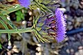 Cynara scolymus in Jardin botanique de la Charme 10.jpg