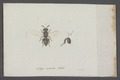 Cynips - Print - Iconographia Zoologica - Special Collections University of Amsterdam - UBAINV0274 047 03 0008.tif