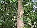 Cynometra malaccensis feuilles.jpg