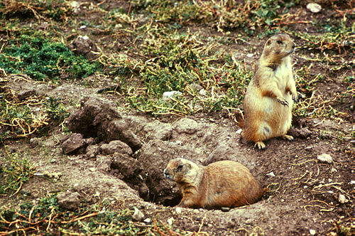 Prairie dogs at a burrow entrance Cynomys ludovicianus 2.jpg