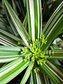 Cyperus diffusus 'Variegata' 01.jpg