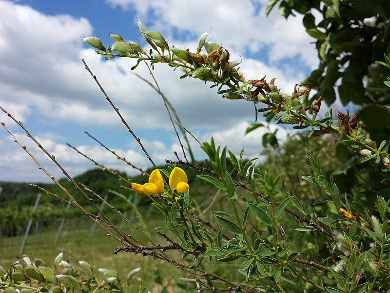 File:Cytisus procumbens sl41.jpg