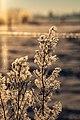 Dülmen, Hausdülmen, eisbedeckte Pflanze -- 2021 -- 5059.jpg