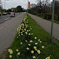 Daffodils on Trumpington Road - geograph.org.uk - 1229225.jpg