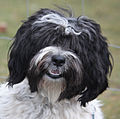 Daisy - Tibetan Terrier - at the Dog Barn (cropped).jpg
