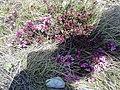 Daphne cneorum (Thymelaeaceae) 01.jpg