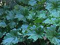 """Darmera peltata """"Indian rhubarb"""".JPG"""