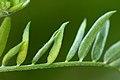 Dasineura spadicea on Vicia cracca (31771983572).jpg