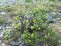 Dasiphora fruticosa Berezovsky.jpg
