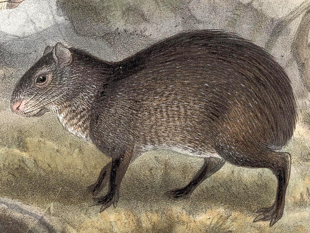 The average adult weight of a Mexican agouti is 5 kg (11.02 lbs)