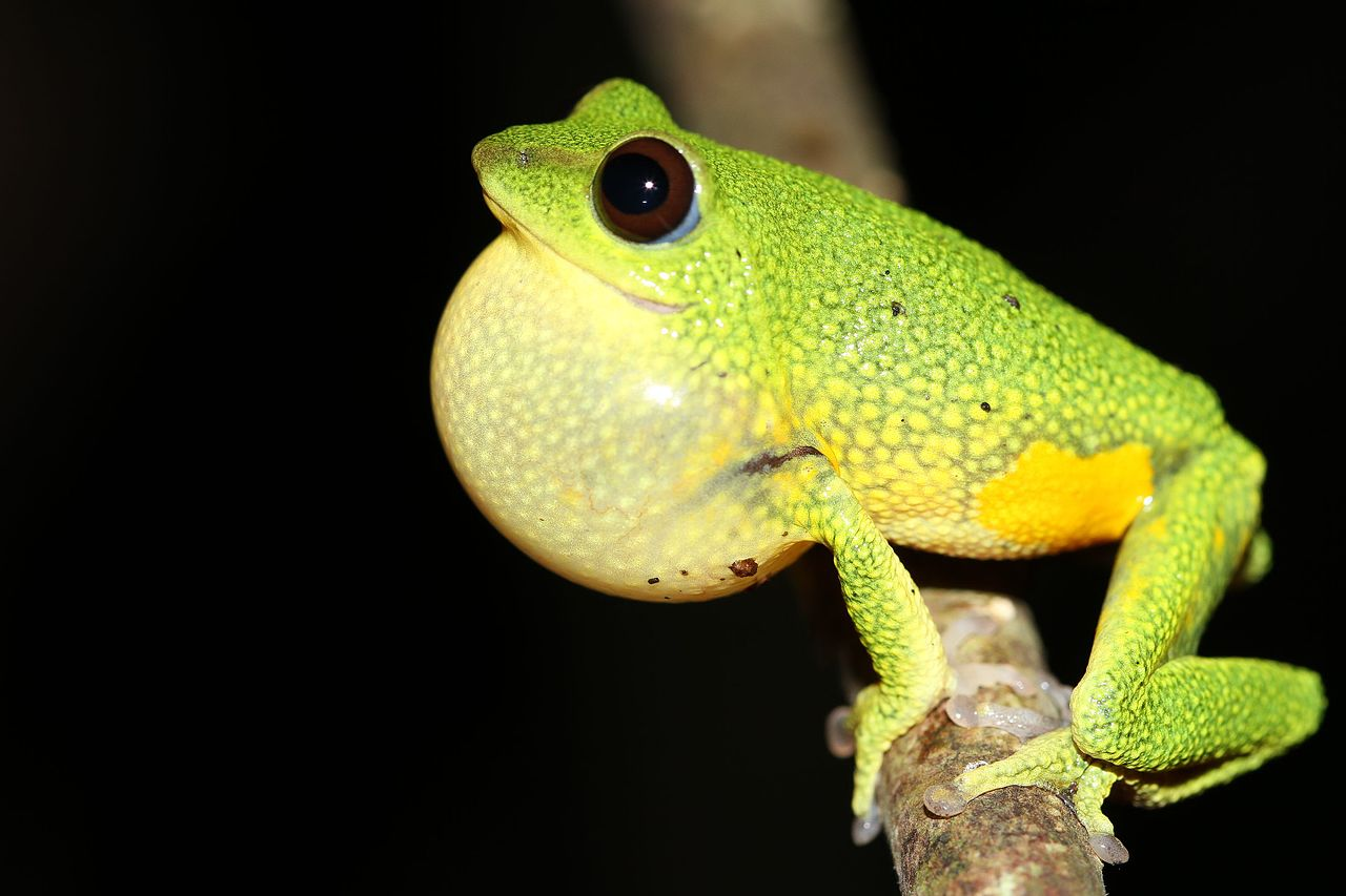 Two species of Raorchestes tree frog discovered in the cloud forests of southern India
