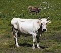 Davos - cow.jpg