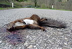 Dead Squirrel 2.JPG