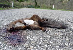 Dead squirrel (Sciurus vulgaris), Tuscany, Italy
