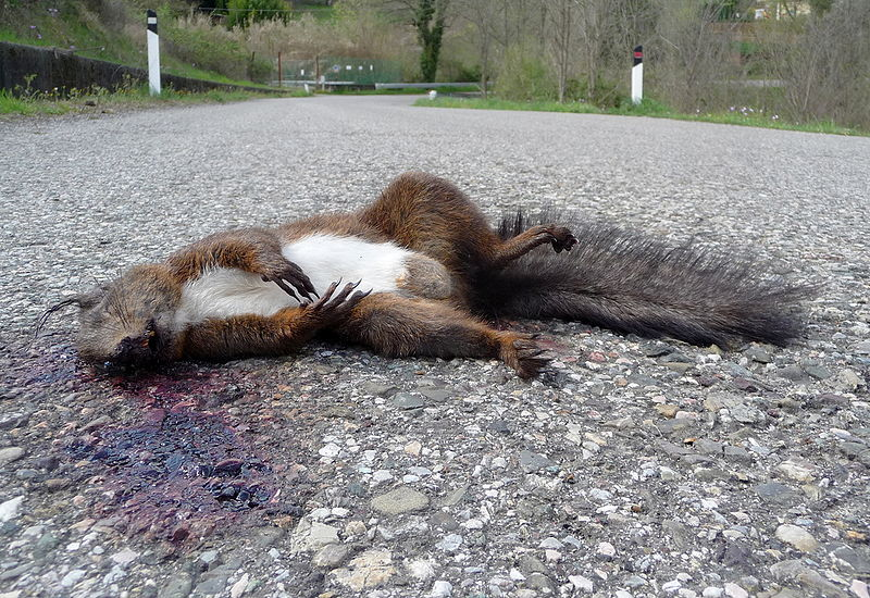 Wikimedia creativ commons image - Dead squirrel (Sciurus vulgaris), Tuscany, Italy by Lucarelli
