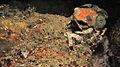 Decorator Crab (Cyclocoeloma tuberculata) (8457976853).jpg