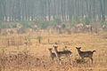 Deer at the Utrechtse heuvelrug (4335384008) (2).jpg