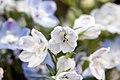Delphinium grandiflorum Summer Blues 7zz.jpg