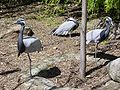 Demoiselle cranes.jpg