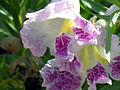 Desert Willow (Chilopsis linearis) Bloom (24366443).jpg