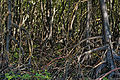 Detail of Mangrove roots.jpg