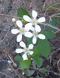 Dewberry flowers. Note the multiple pistils, each of which will produce a drupelet. Each flower will become a blackberry-like aggregate fruit