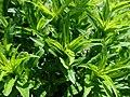 Dianthus barbatus 2019-04-30 2279.jpg