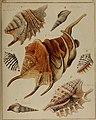 Die Flügelschnecken (Strombea) - in Abbildungen nach der Natur mit Beschreibungen (1845) (20915109885).jpg
