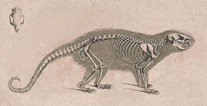 Brazilian porcupine - Skeleton