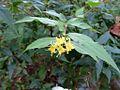 Diervilla sessilifolia 01.JPG