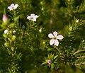 Diosma ericoides 2.jpg
