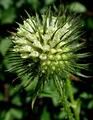 Dipsacus strigosus inflorescence (03).png
