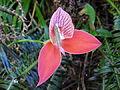 Disa uniflora - Flickr 014.jpg