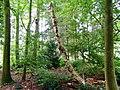 Dode berk (Betula).jpg