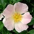 Dog rose - Flickr - Stiller Beobachter (2).jpg
