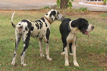 English: Harlequin and mantle great danes Port...