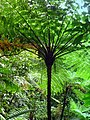 Dominica, Karibik - Giant Ferns in Rainforest - panoramio.jpg