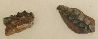 Dorcatherium - Dorcatherium minus jaw fragments, Natural History Museum, London