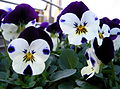 Dotted pansies.jpg