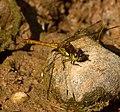 Dragonfly Common Darter 5 (6058828133).jpg