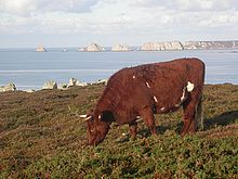 a small red-coated cow grazing by the sea
